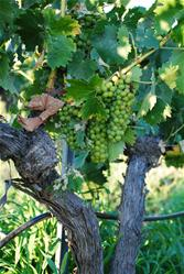 Wine grape hanging from vine