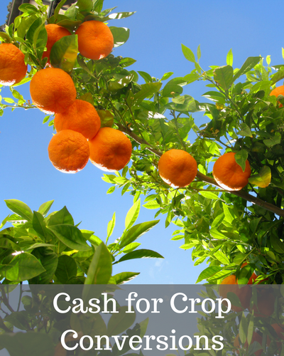 Image of orange tree with link to CropSWAP program