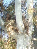 Hawks in nest